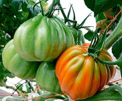 Semillas De Tomate Corazón De Buey Tomawak De Syngenta Jitomate Vademécum De Semillas