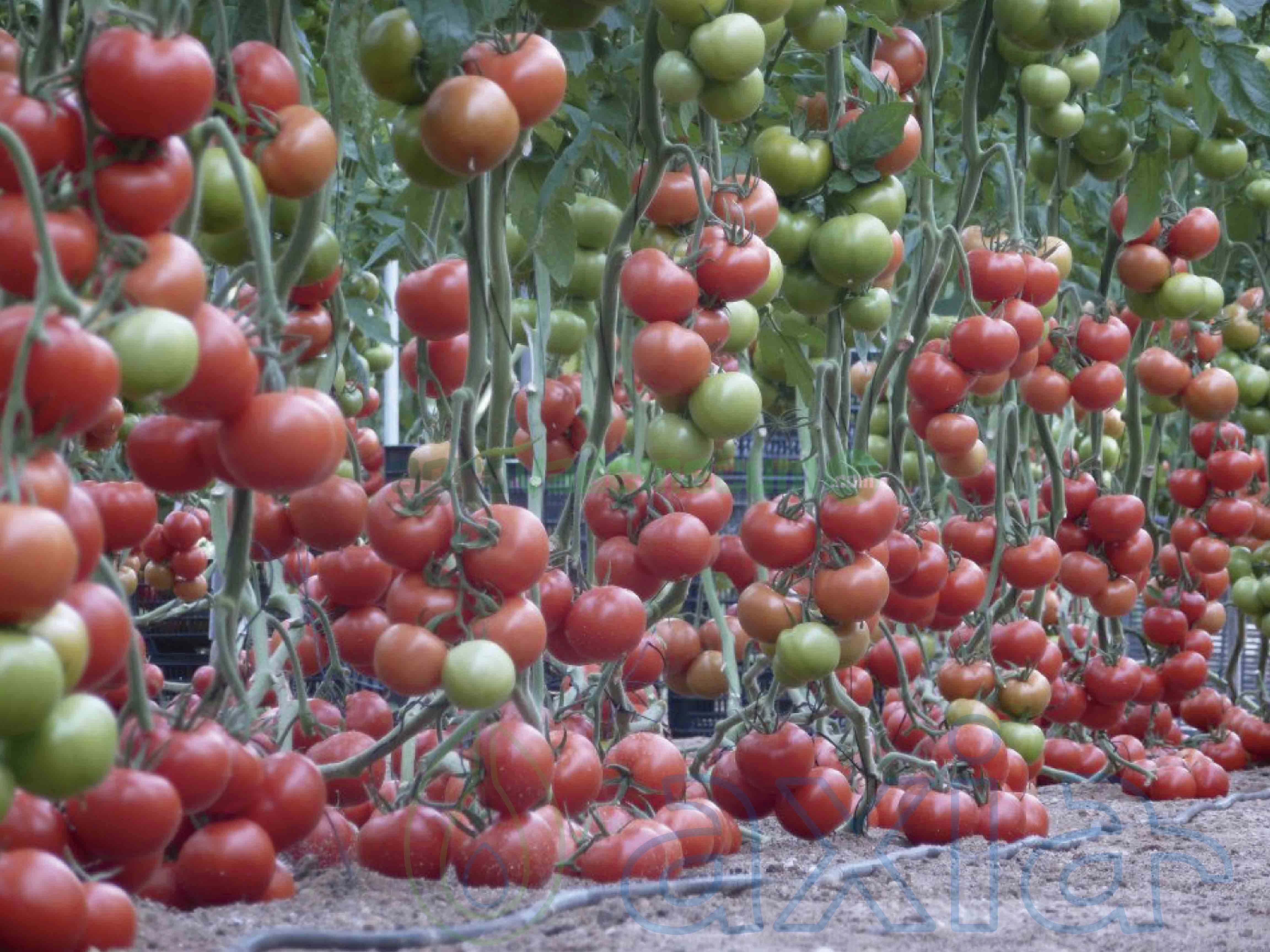 Semillas De Tomate Corazón De Buey Mira F1 De Axia Seeds Jitomate Vademécum De Semillas